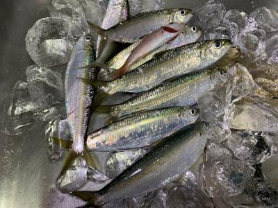 2020年4月11日 北条湾釣行 釣果