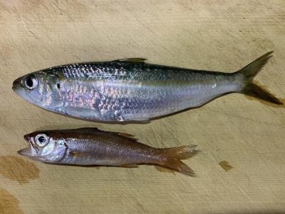 2020年4月11日 釣れた魚種(ムツ・カタボシイワシ)