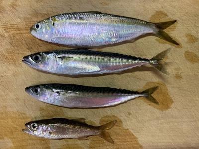 2020年5月31日 北条湾釣行 釣れた魚種