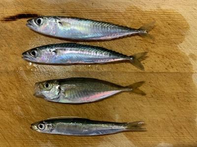 2020年6月7日 北条湾釣行 釣れた魚種