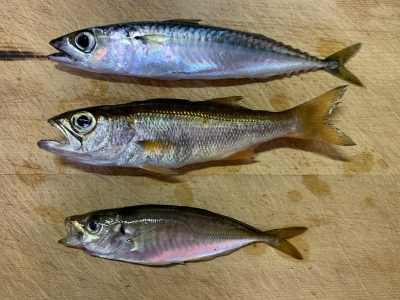 2020年6月14日 北条湾釣行 釣れた魚種