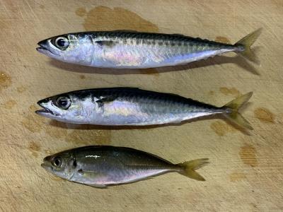 2020年6月21日 北条湾釣行 釣れた魚種