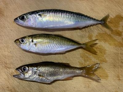 2020年6月28日 北条湾釣行 釣れた魚種