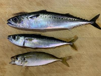 2020年7月5日 北条湾釣行 釣れた魚種