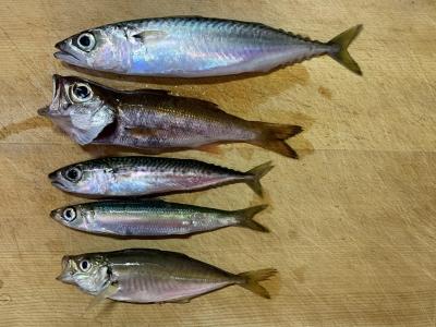 2020年7月15日 北条湾釣行 釣れた魚種
