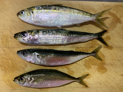 2020年7月19日 北条湾釣行 釣れた魚種