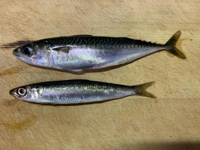2020年7月23日 北条湾釣行 釣れた魚種
