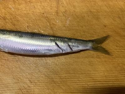 2020年7月23日 北条湾釣行 大型魚にかじられたウルメイワシ