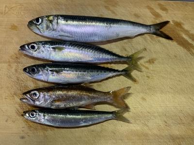 2020年7月26日 北条湾釣行 釣れた魚種