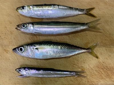 2020年8月10日 北条湾釣行 釣れた魚種
