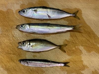2020年8月13日 北条湾釣行 釣れた魚種