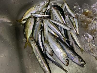 2020年8月16日 北条湾釣行 釣果