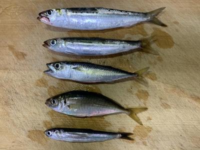 2020年8月16日 北条湾釣行 釣れた魚種