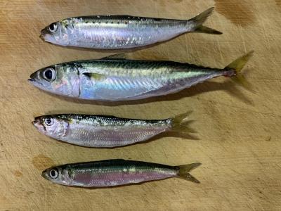 2020年8月23日 北条湾釣行 釣れた魚種