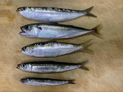 2020年8月30日 北条湾釣行 釣れた魚種
