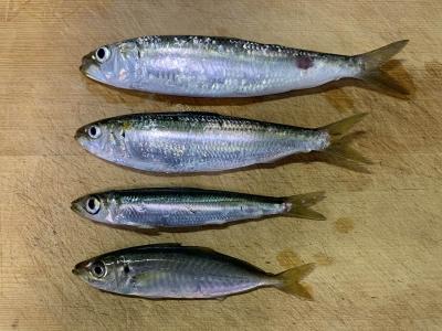 2020年9月6日 北条湾釣行 釣れた魚種