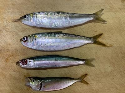 2020年9月13日 北条湾釣行 釣れた魚種