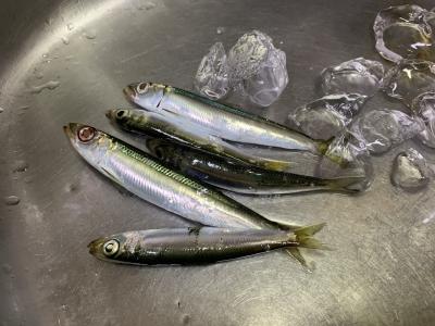 2020年9月13日 北条湾釣行 釣果