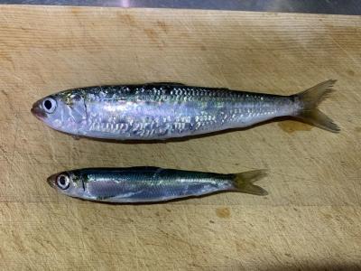 2020年9月27日 北条湾釣行 釣れた魚種