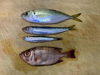 2020年10月11日 北条湾釣行 釣れた魚種
