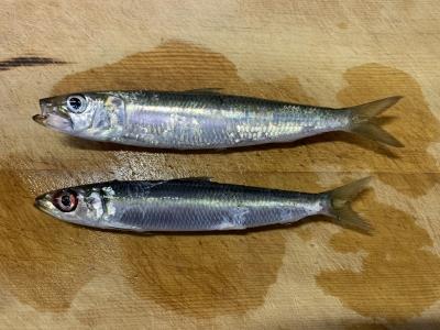 2020年10月18日 北条湾釣行 釣れた魚種