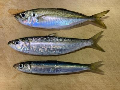 2020年10月25日 北条湾釣行 釣れた魚種