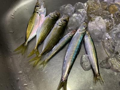 2020年11月1日 北条湾釣行 釣果