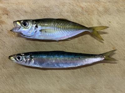 2020年11月1日 北条湾釣行 釣れた魚種