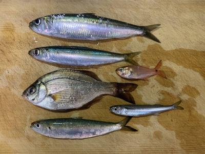 2020年11月8日 北条湾釣行 釣れた魚種
