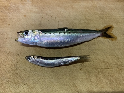 2020年11月15日 北条湾釣行 釣れた魚種