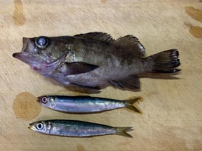 2020年11月29日 北条湾釣行 釣果と釣れた魚種