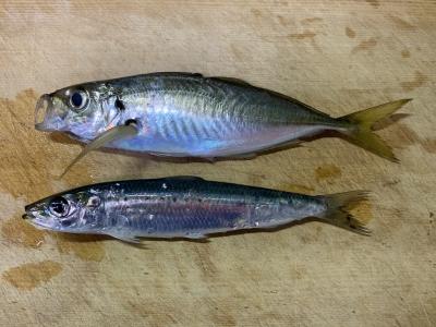 2020年12月12日 北条湾釣行 釣れた魚種