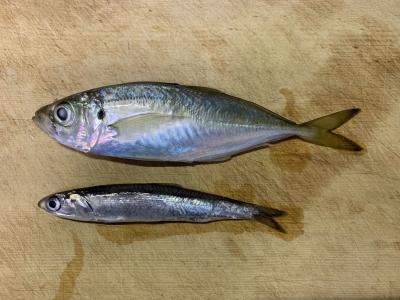 2020年12月20日 北条湾釣行 釣れた魚種