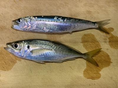 2020年12月31日 北条湾釣行 釣り納め 釣れた魚種