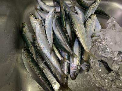2021年1月17日 北条湾釣行 釣果