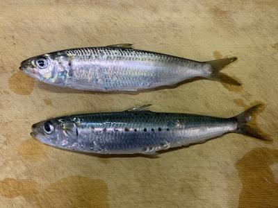 2021年1月17日 北条湾釣行 釣れた魚種