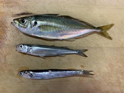 2021年2月11日 北条湾釣行 釣れた魚種