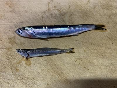 2021年3月7日 北条湾釣行 釣れた魚種(カタクチイワシ)