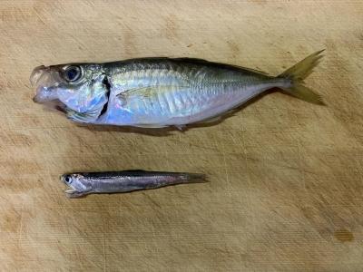 2021年3月28日 北条湾釣行 釣れた魚種