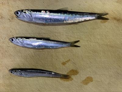 2021年4月11日 北条湾釣行 釣れた魚種