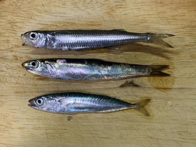 2021年4月25日 北条湾釣行 釣れた魚種
