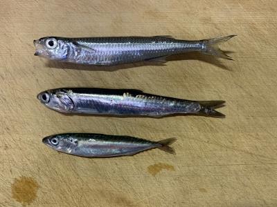 2021年5月4日 北条湾釣行 釣れた魚種