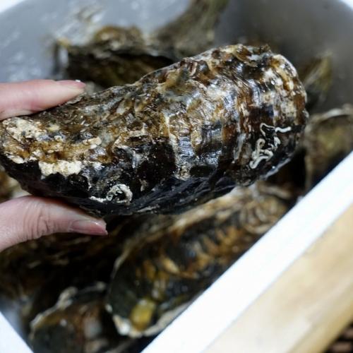ふるさと納税2021 北海道 北見市 海のミルクサロマ湖産殻付2年物カキ貝 4kg (25~50個入) (15)