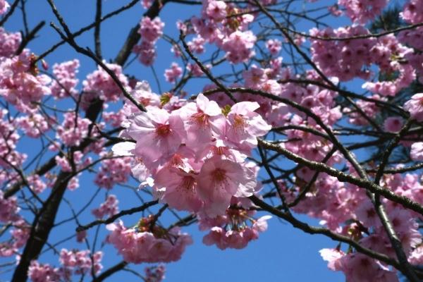 2020-04-04 経塚山桜