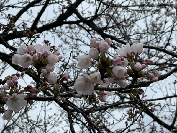 文化ホールの桜