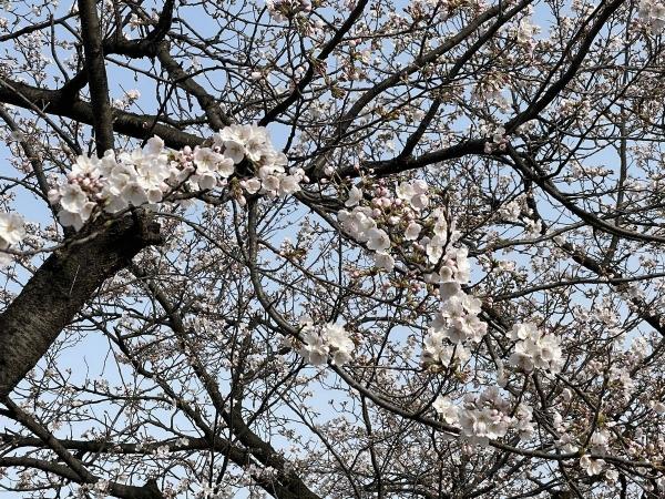 文化ホール桜2