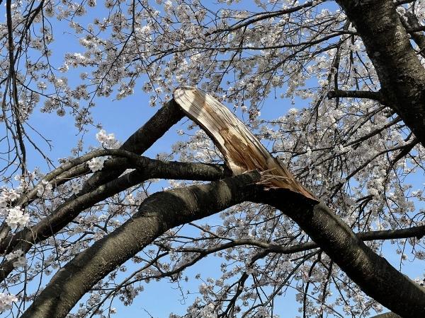 神宮寺桜枝折れ