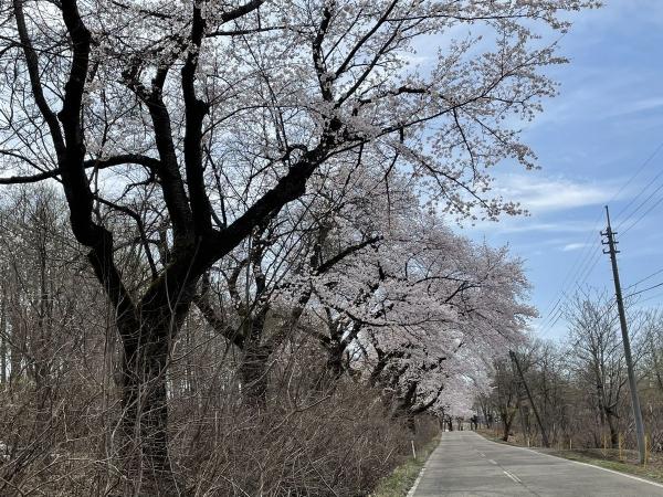 松ヶ峯桜1
