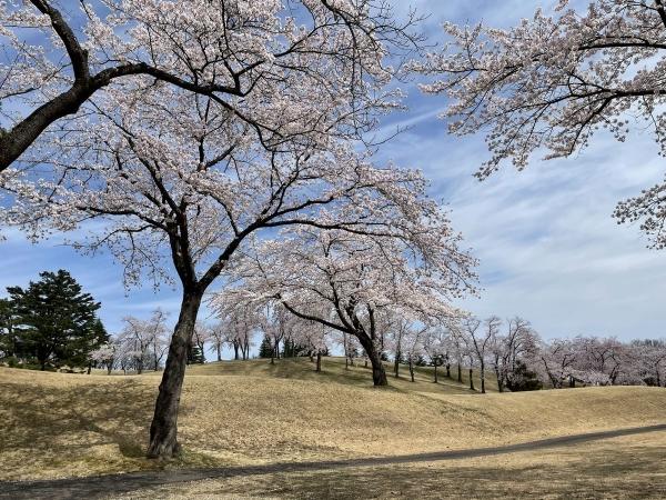 松ヶ峯桜4