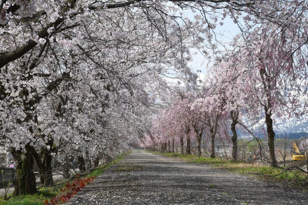 矢代川桜4